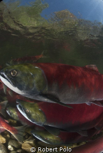 Sockeye salmon. British Columbia, Canada by Robert Polo 